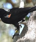 The original Twitter? Tiny electronic tags monitor birds' social networks Thumbnail