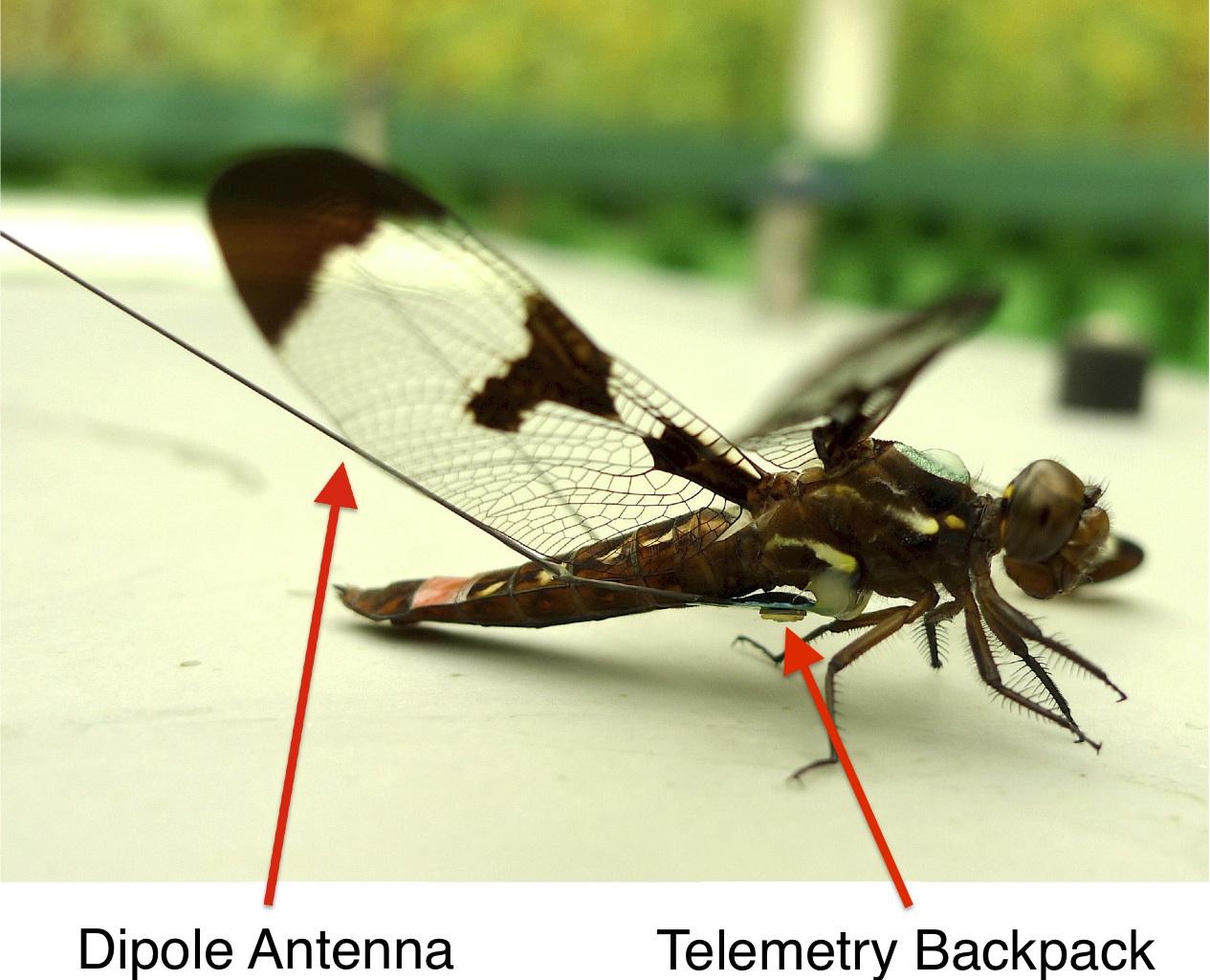 Reynolds-dragonfly