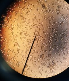 Researchers reprogram yeast mating habits for the future of medicine