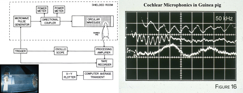 Cochlear Microphonics in Guinea Pig