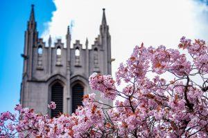 UW Gerberding Hall behind cherry tree blossoms