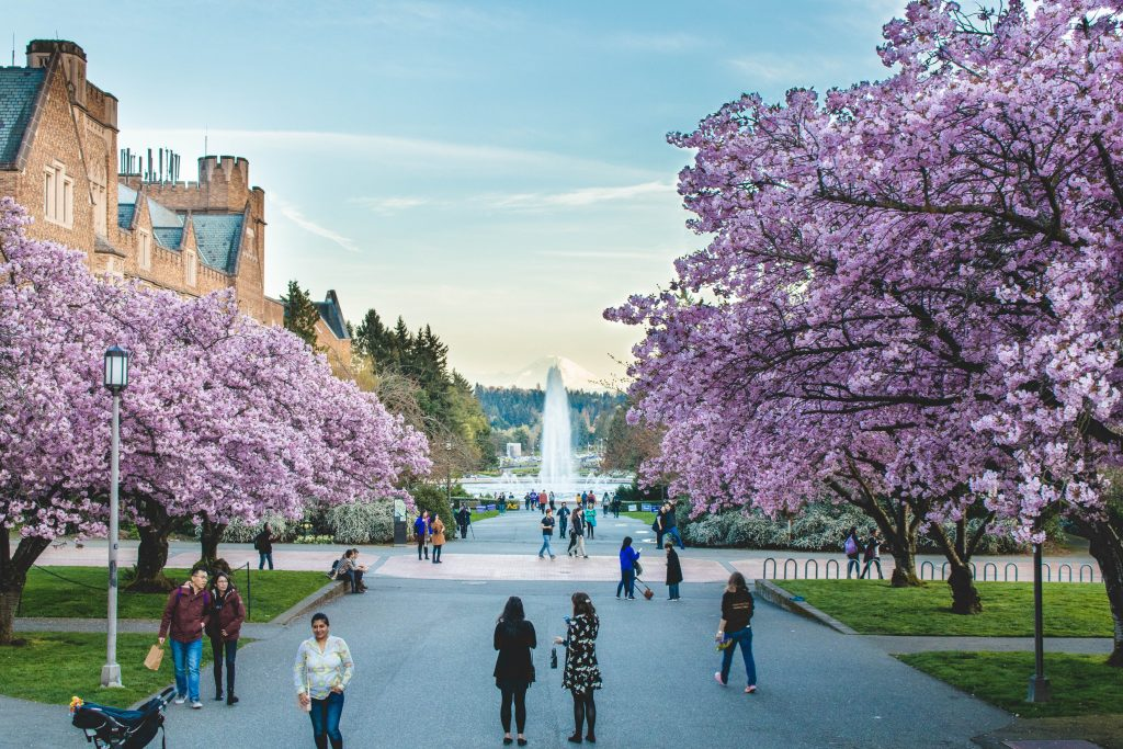 UW campus with cherry blossoms